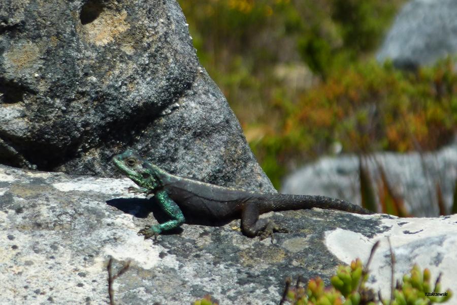 23 Hoerikwaggo Trail Lizard1