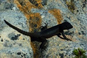 Table Mountain flora - Black Girdled Lizard