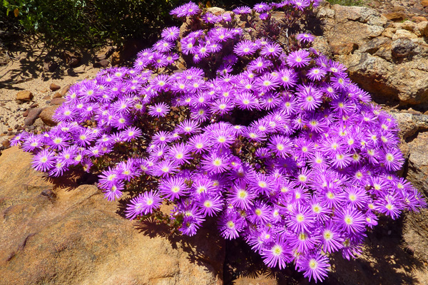 Table Mountain flora - Erica Fire heath